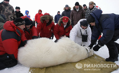 "Prime Minister Vladimir Putin visited the Franz Josef Land archipelago, where an expedition from the Russian Academy of Sciences' Severtsov Institute of Ecology and Evolution are carrying out research on the polar bear population. Together with the scientists, the prime minister fitted a satellite collar on a bear and after that shook the paw with the ""master of the Arctic."""