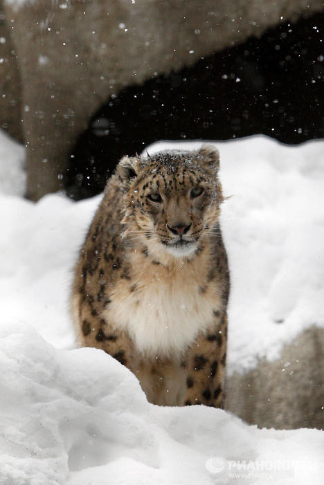 The animals elected to be mascots for the 2014 Winter Olympic Games in Sochi (the leopard, polar bear and rabbit) are among the oldest species inhabiting the Moscow Zoo. Now they are even more popular with visitors.
