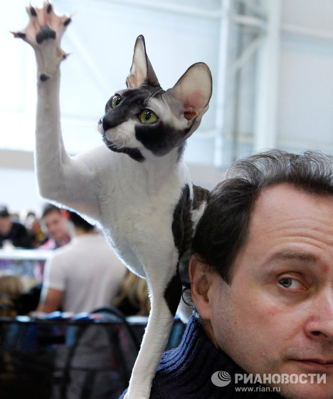 Moscow hosted the international cat exhibition Catsburg 2011, which showcased rare and unusual species of cats.<br />Photo: a Cornish Rex cat.<br />