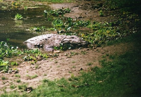 The most deadly animal in the park to humans is the mugger. Basking on the river bank during the midday sun, the mugger eats anything it can catch. The English word mugger entered the language when during the British reign in India, they saw local villagers dragged to their death by the crocs.
