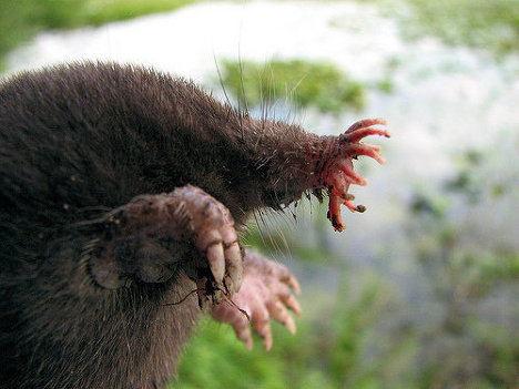 A star-nosed mole is a mammal of the Talpidae family that can be found in North America. It can be easily identified by the twenty-two fleshy knobs on its snout that resemble a star.