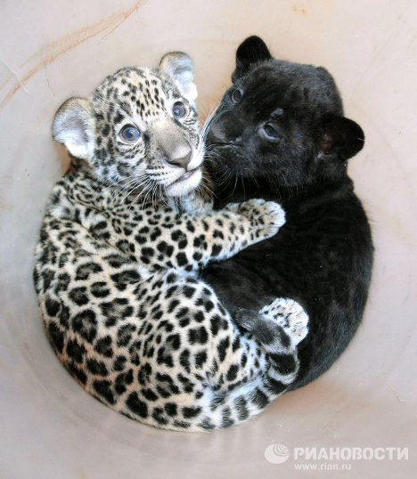 The kittens were born to black jaguar Rok and spotted jaguar Agnessa.