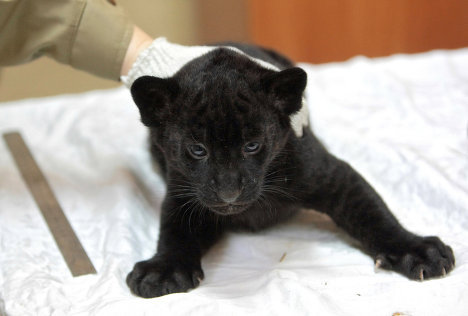 The zoo has already announced that one of the kittens will move to the Czech Republic.