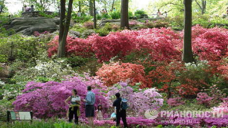 The New York Botanical Garden has celebrated its 120th anniversary. To celebrate, the azalea garden was opened to the public for the first time, and thousands of people flocked to admire the flowers. The garden's highlights are the azaleas and rhododendrons, first planted in the 1930s during the Great Depression.