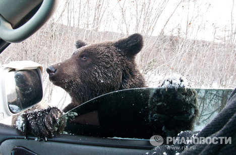 A dangerous situation has developed on Sakhalin Island: the hot summer has prevented bears from stockpiling enough food and accumulating sufficient fat, which is why they have moved very close to people's homes.