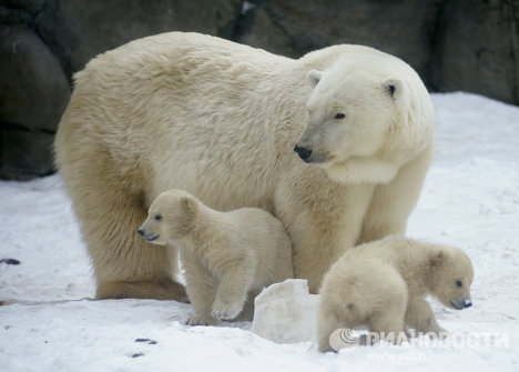 Polar bear cubs born at the Moscow Zoo last November have started taking their first walks.