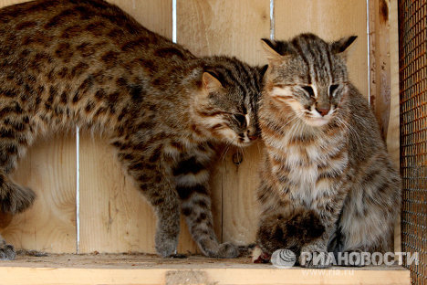 In the middle of March, Far Eastern wildcats appeared at Sadgorod Zoo in Vladivostok.<br />