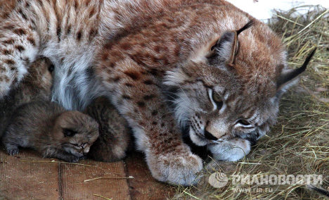 On May 5, four kittens were born to the lynx family of Vasilisa and Vasily in the Sadgorod Zoo in Vladivostok. The sex of the kittens is still unknown because Vasilisa hasn't allowed anyone to get near the newborns.