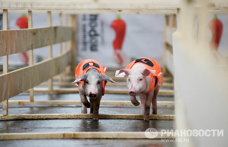 On June 2, representatives of the Federation of Sport Pig Breeders organized a pig race at the Mayakovsky Park of Culture and Leisure in Yekaterinburg. Six three-month-old piglets took part in the race.