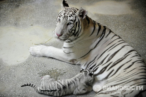 Hinda, the Bengal tigress, gave birth to three white cubs in the zoo of the Urals city of Yekaterinburg.<br /><br />