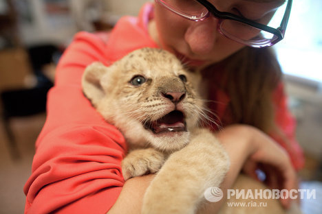A hybrid cub has been born to a female ligress, itself a hybrid, and a male lion at the Novosibirsk Zoo. The baby is named Kyara.