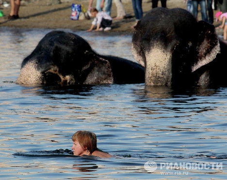 On Friday, hundreds of residents and guests in Vladivostok witnessed an unusual event: the bathing of two elephants, Magda and Jenny, in the Sportivnaya Harbor of Amur Bay.